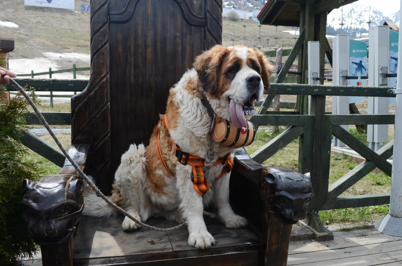 Символ Шымбулака - сенбернара Чимбу проводили на пенсию (ФОТО), фото-6