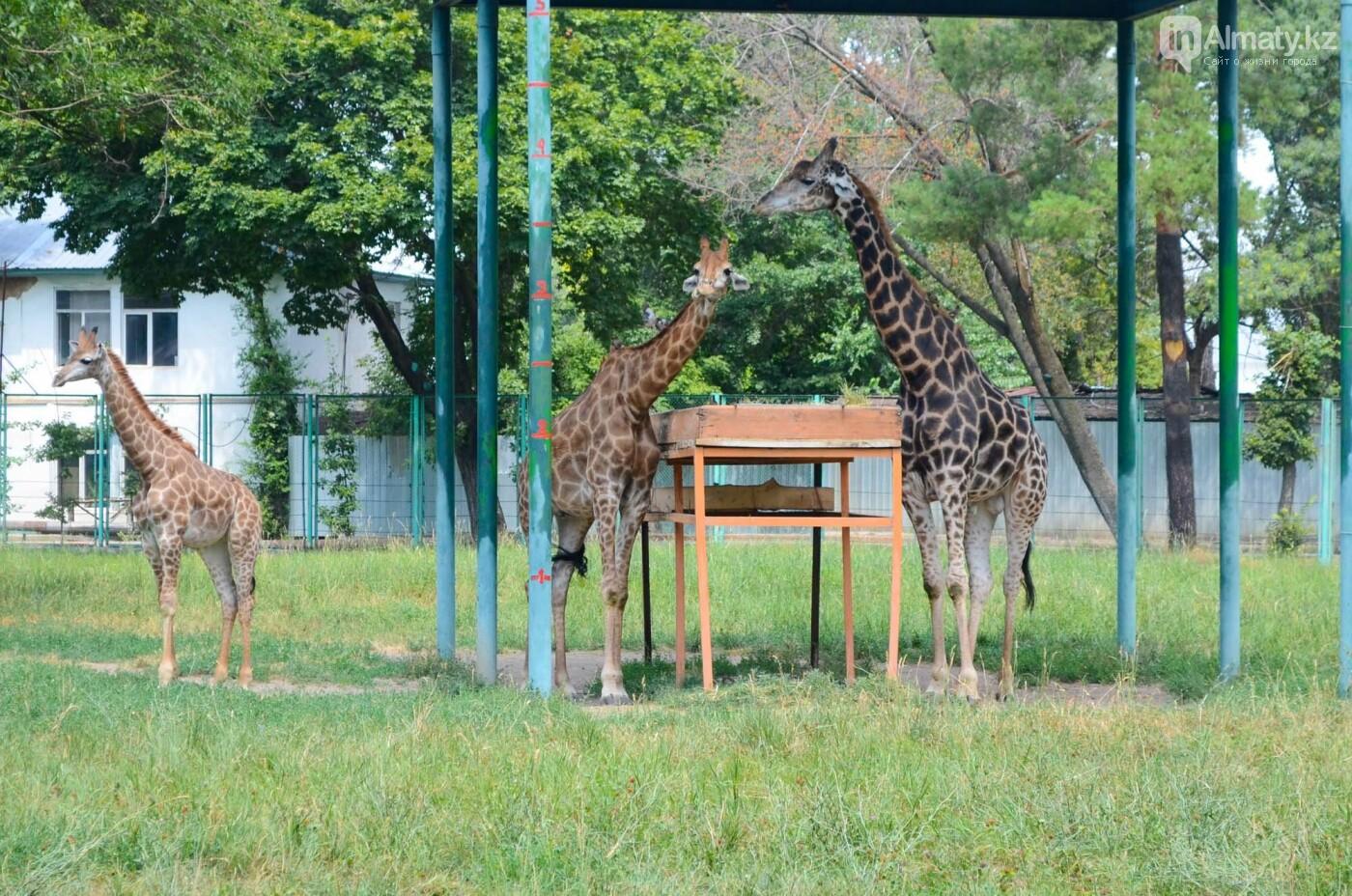 Жирафы в Алматинском зоопарке