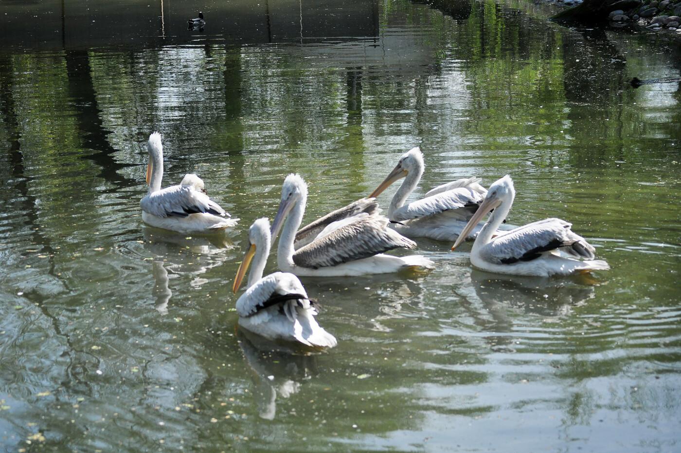В Алматинском зоопарке из зимних вольеров выпустили пеликанов (ФОТО), фото-1
