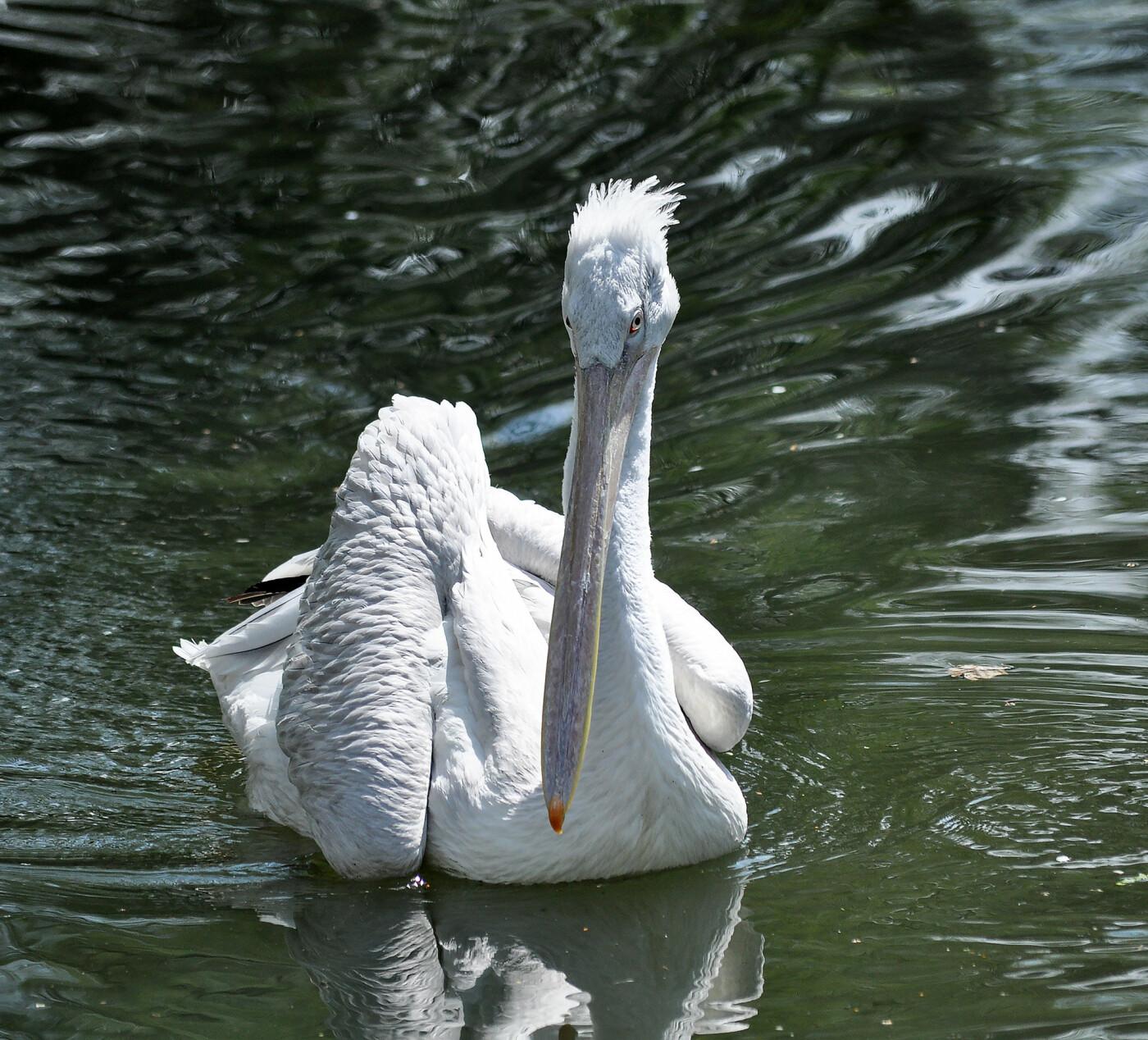 В Алматинском зоопарке из зимних вольеров выпустили пеликанов (ФОТО), фото-2