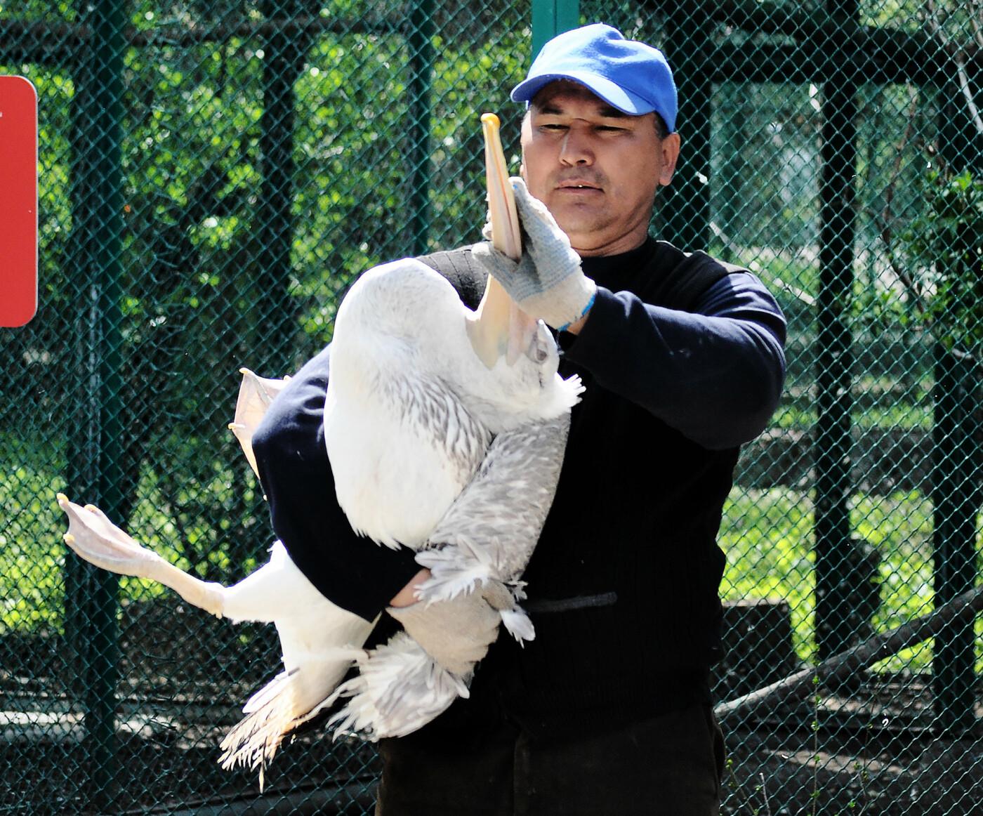 В Алматинском зоопарке из зимних вольеров выпустили пеликанов (ФОТО), фото-5