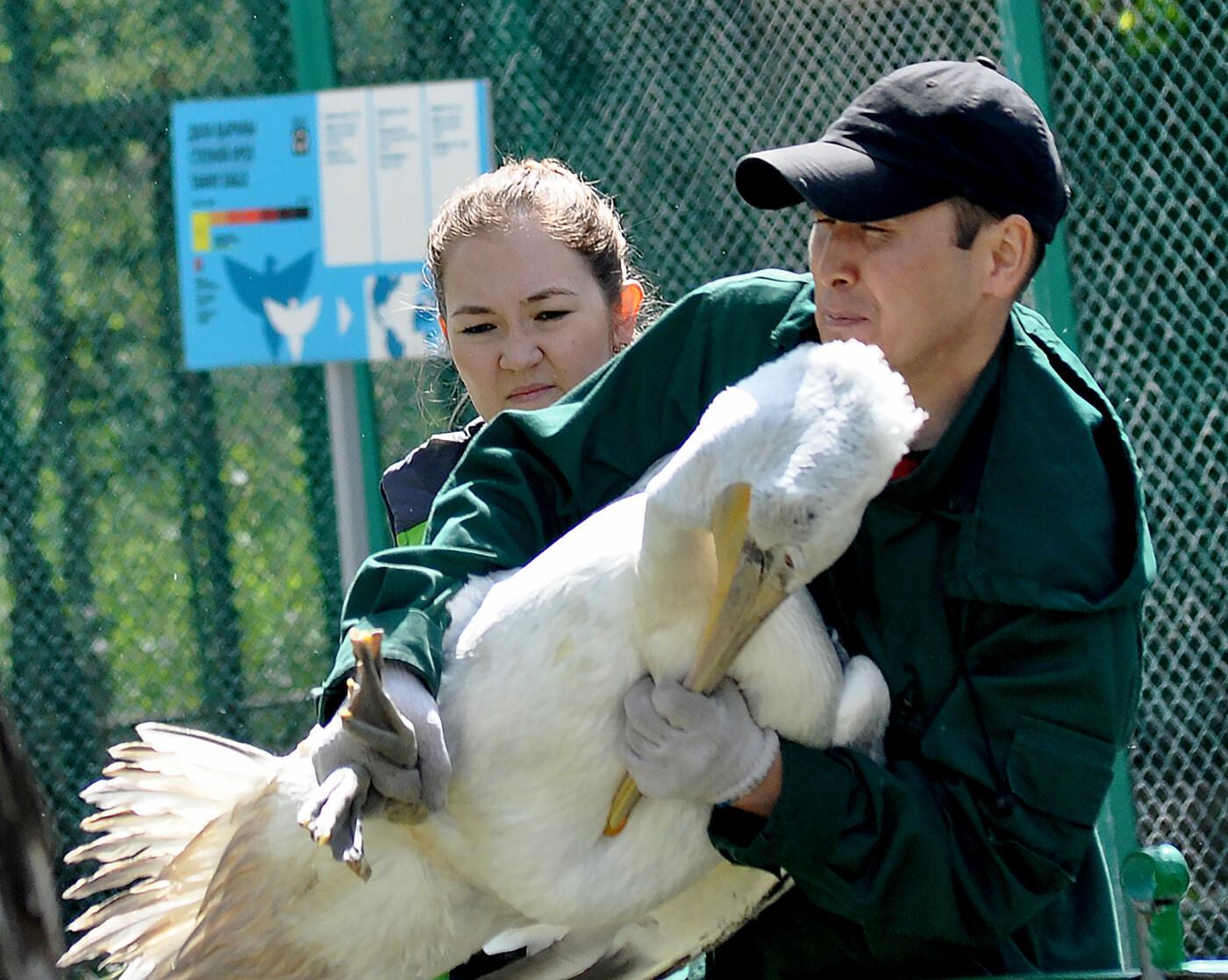 В Алматинском зоопарке из зимних вольеров выпустили пеликанов (ФОТО), фото-4