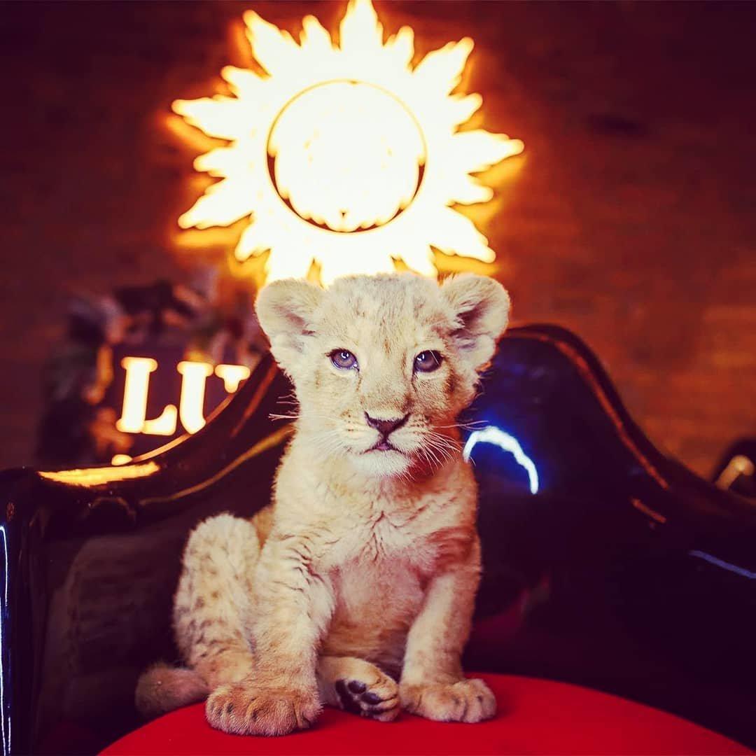 В сети обнаружились снимки погибшей львицы Ассоль с посетителями ресторана (видео), фото-5