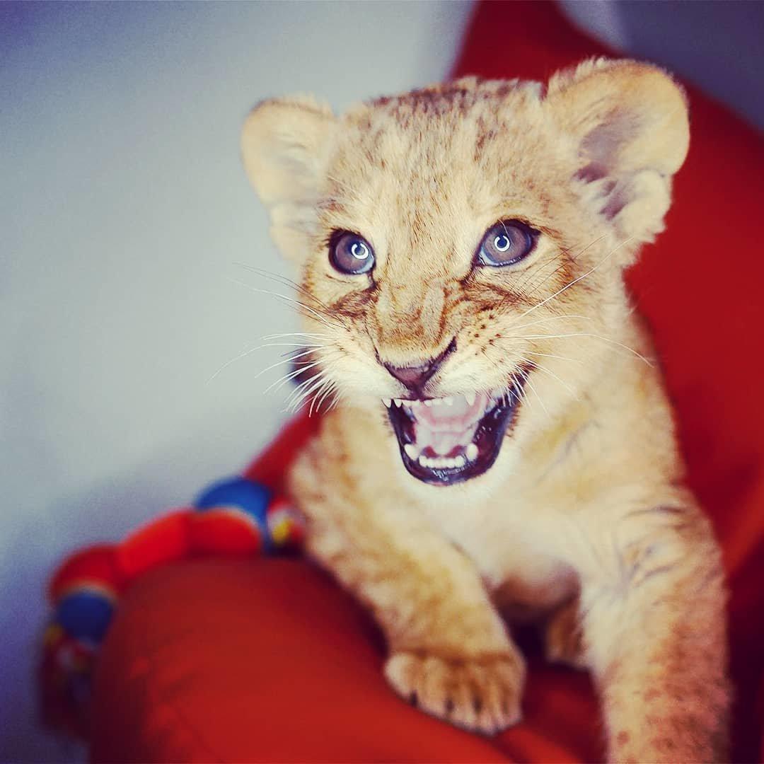 В сети обнаружились снимки погибшей львицы Ассоль с посетителями ресторана (видео), фото-4