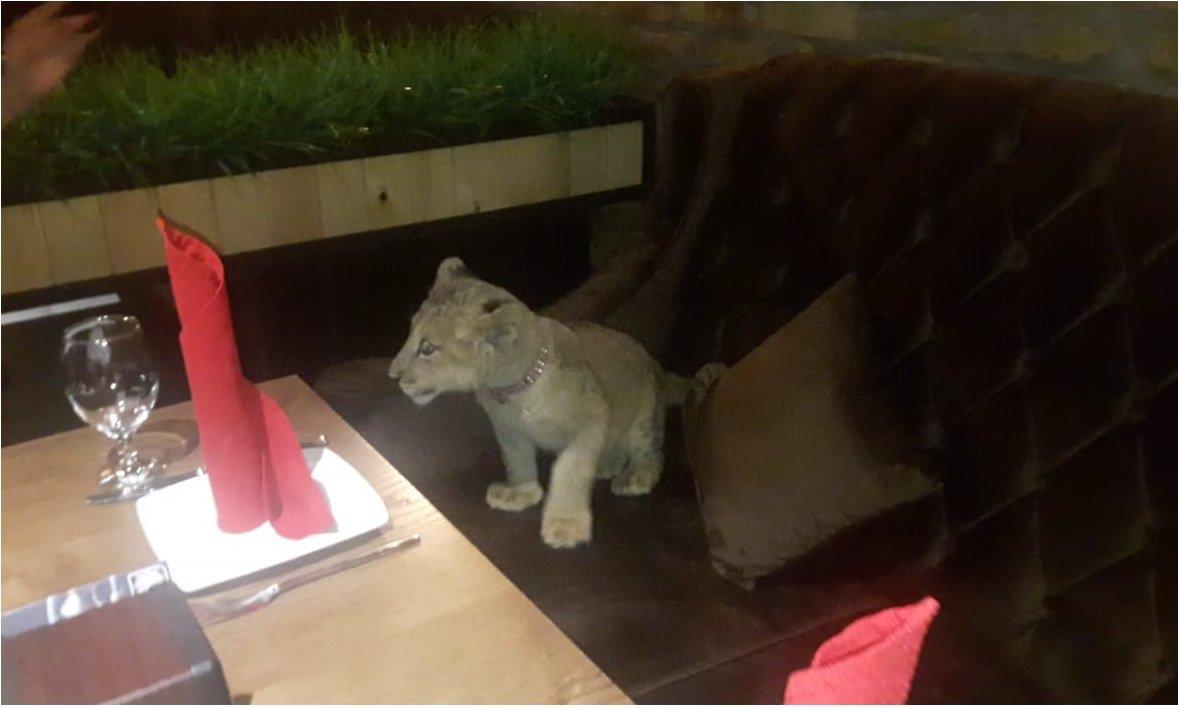 В сети обнаружились снимки погибшей львицы Ассоль с посетителями ресторана (видео), фото-6