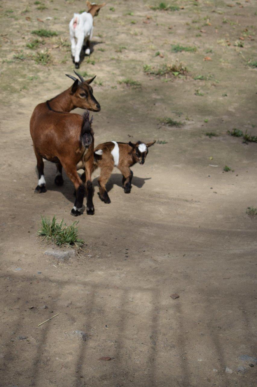 Карликовая коза родилась в зоопарке Алматы (фото), фото-2