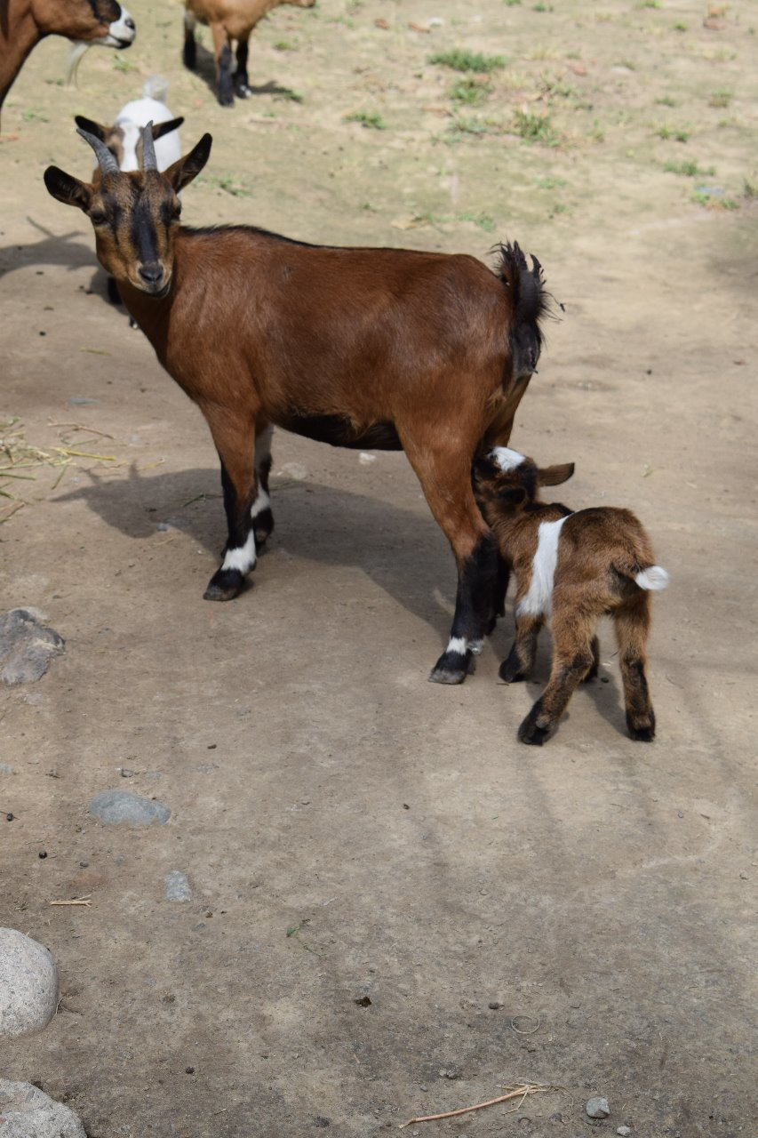 Карликовая коза родилась в зоопарке Алматы (фото), фото-1