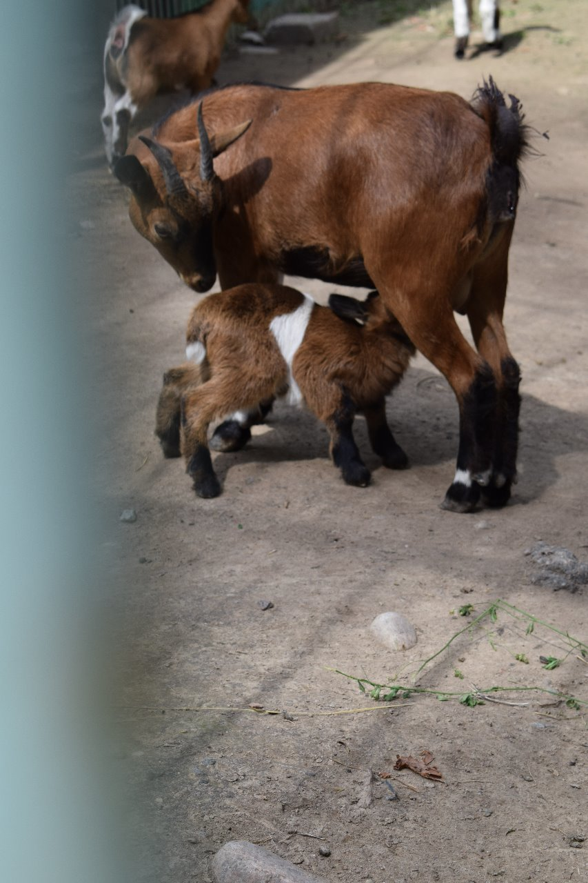 Карликовая коза родилась в зоопарке Алматы (фото), фото-3