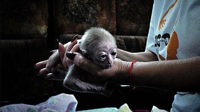 В Алматинском зоопарке родился детеныш исчезающего гиббона (фото), фото-1, Фото пресс-службы Алматинского зоопарка