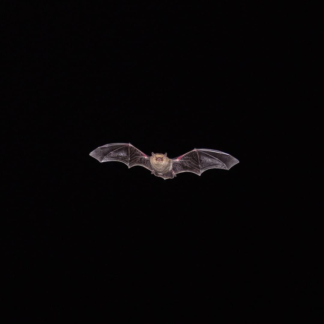 Алматинский фотограф в самоизоляции снимал летучих мышей, фото-1