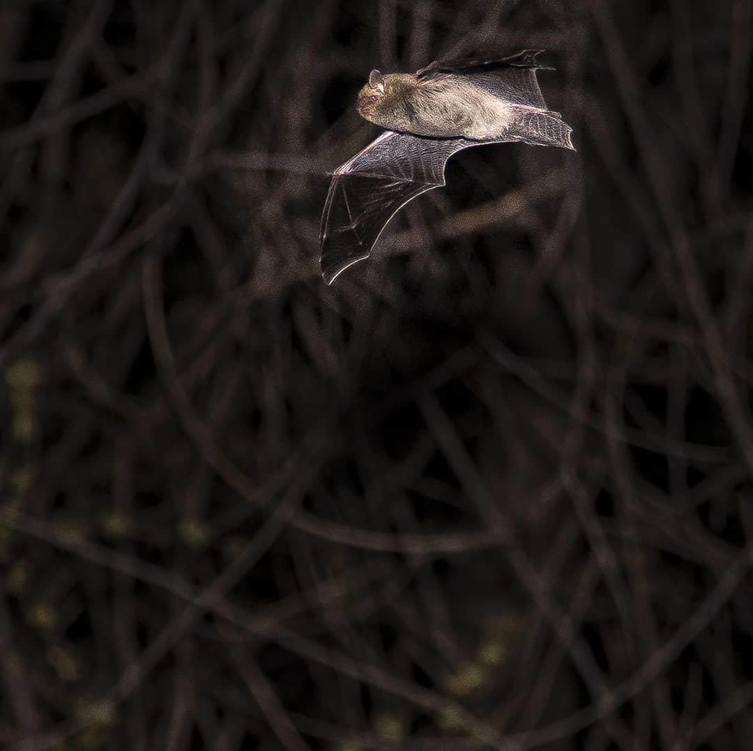 Алматинский фотограф в самоизоляции снимал летучих мышей, фото-4