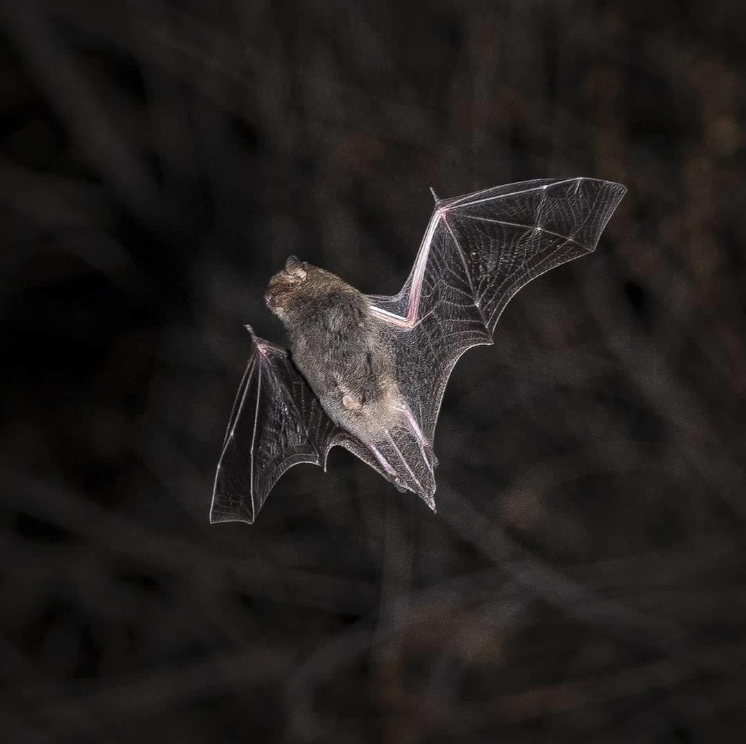 Алматинский фотограф в самоизоляции снимал летучих мышей, фото-5