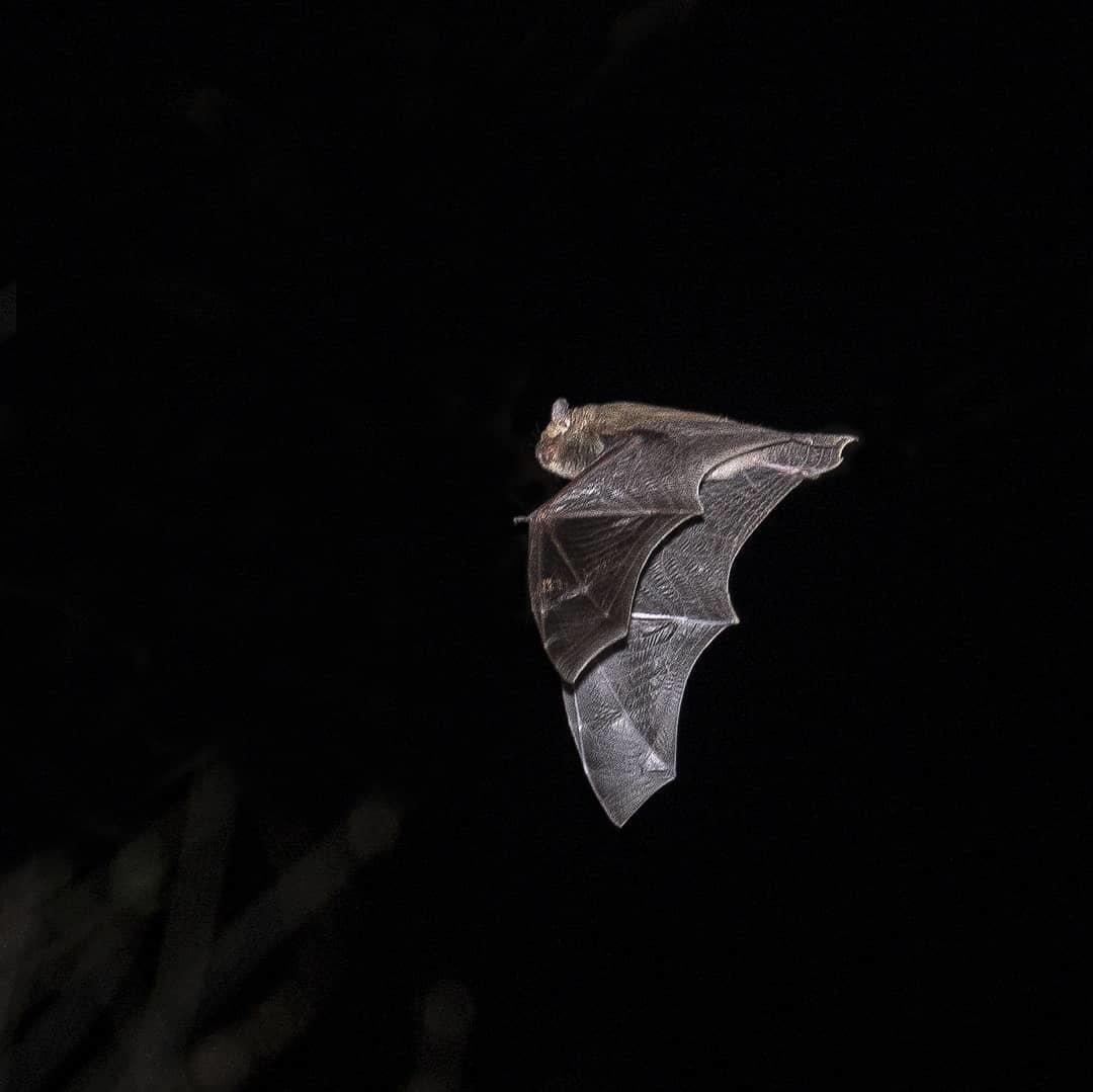 Алматинский фотограф в самоизоляции снимал летучих мышей, фото-2