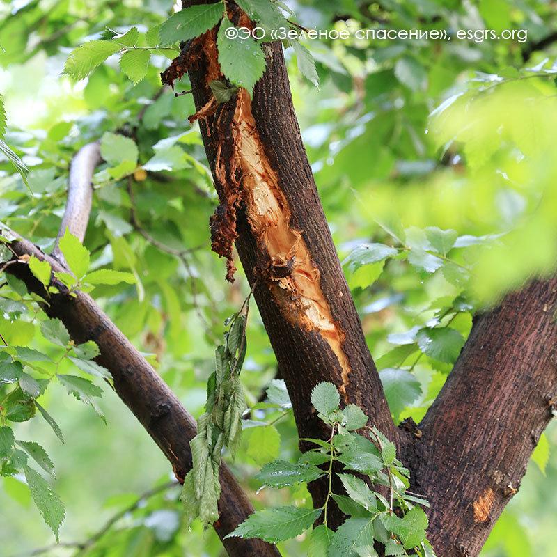 Поврежденные деревья, Экологическое общество «Зеленое спасение»