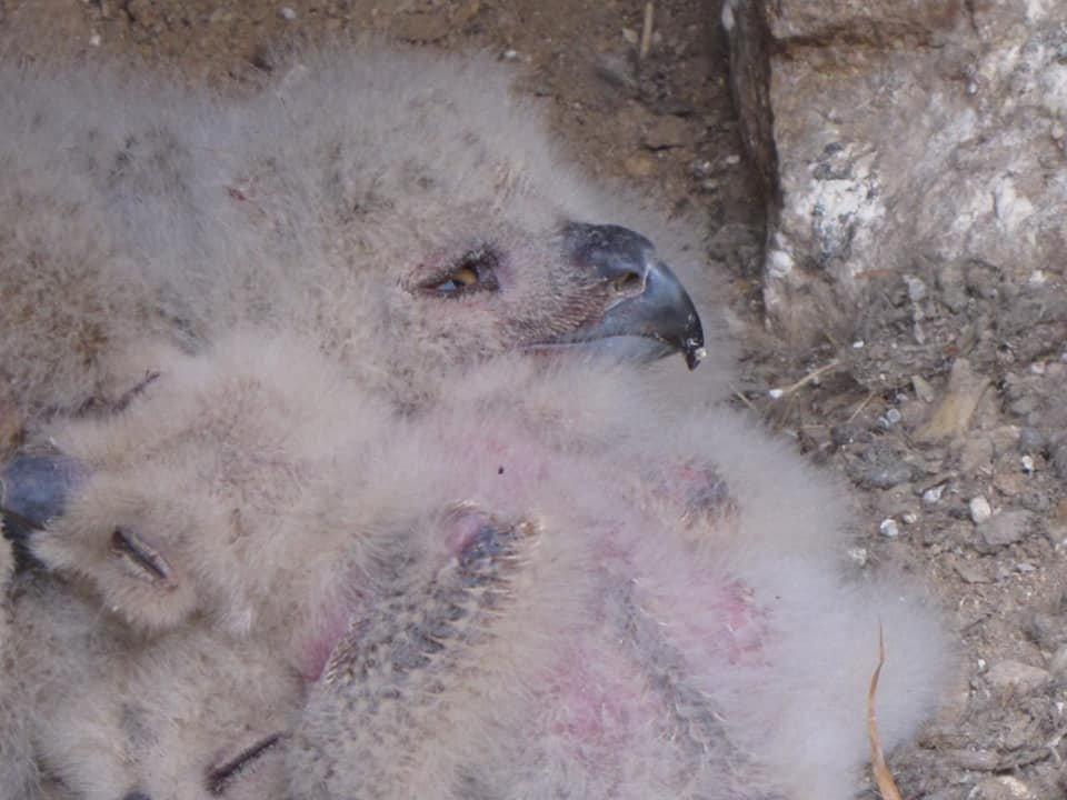 В Иле-Алатауском парке обнаружили птенцов филина, фото-2