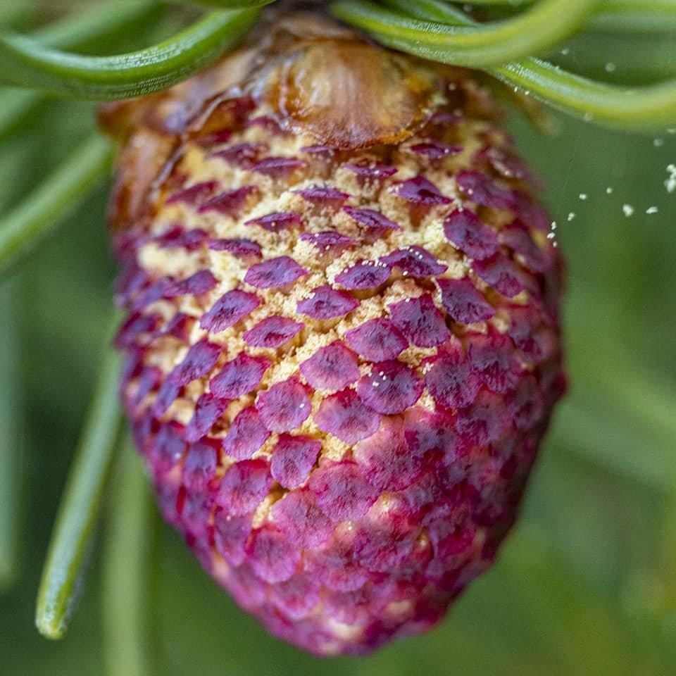 В Иле-Алатауском нацпарке началось цветение ели Шренка , фото-2