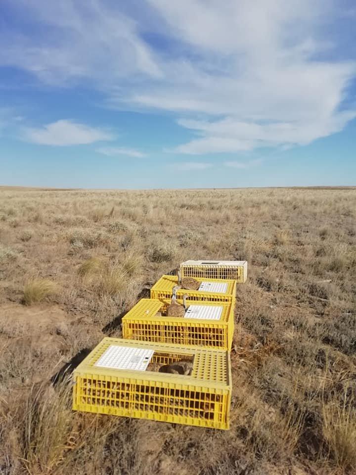 Краснокнижных дроф-красоток выпустили в дикую природу в Алматинской области, фото-4