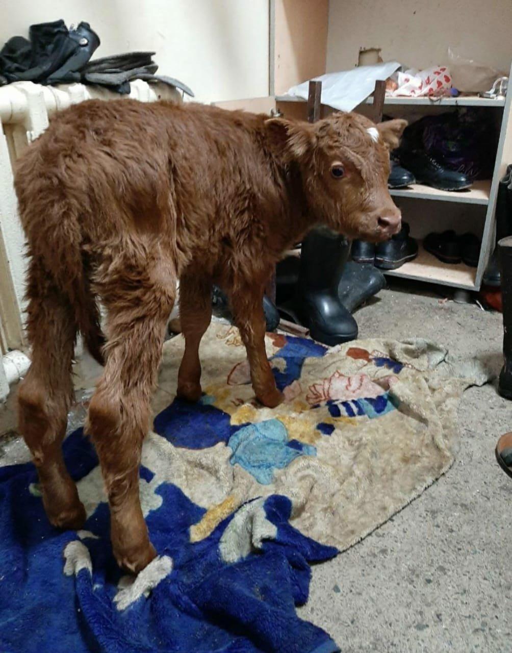 Алматинский зооволонтер рассказала историю спасенного теленка, родившегося на скотобойне, фото-1