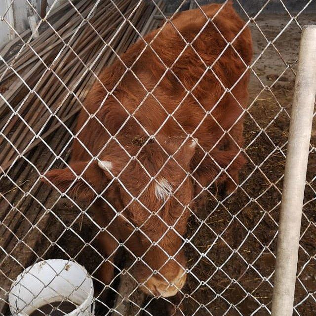 Алматинский зооволонтер рассказала историю спасенного теленка, родившегося на скотобойне, фото-4