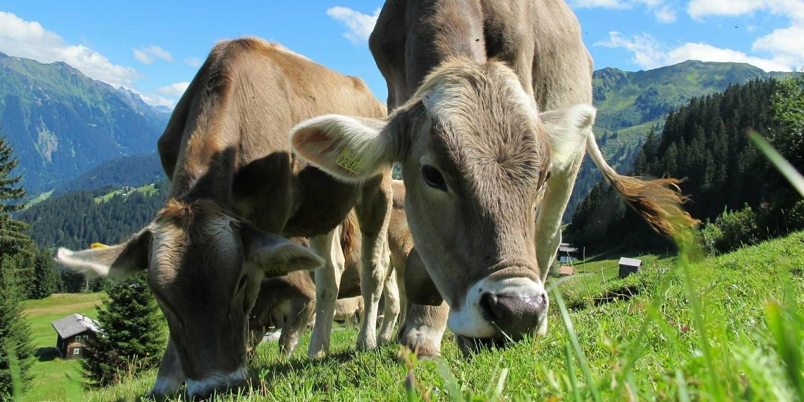 Жители предгорий Алматы пожаловались на бесчинства скотокрадов